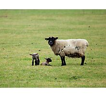 Sheep and Lambs Photographic Print
