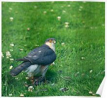 Sparrowhawk male with feathers Poster