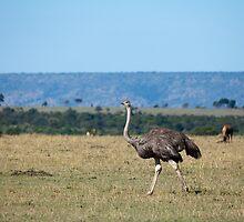 Ostrich on the Masai Mara by Sue Robinson