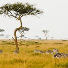 zebras under the acacia trees by nicolemarie72