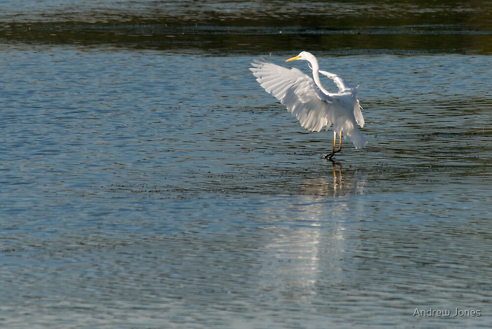 Gentle landing, egret, Lago Trasimeno, Umbria by Andrew Jones