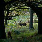 Deers in Richmond Park by akwel