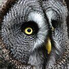 Great Grey Owl by Colin Shepherd