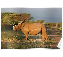 Dehorned White rhinoceros in South Africa  Poster