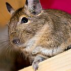 Degu by lmaiphotography