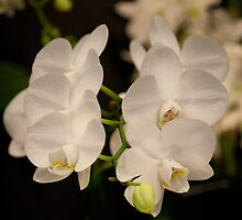 Orchid by LG2001