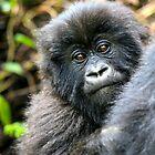 Baby Mountain Gorilla by Sheila Smith