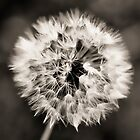 Dandelion seedball covered with small dewdrops by marina63