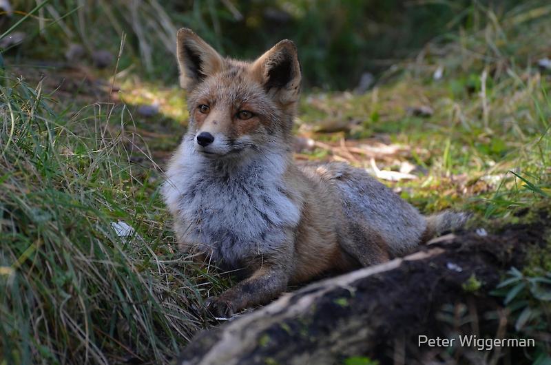 Foxy lady by Peter Wiggerman
