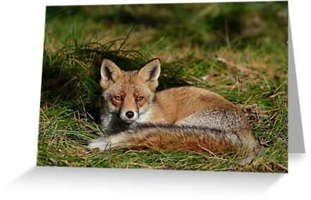 Red fox by Peter Wiggerman