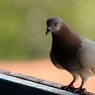 Rock Dove by Tataran Mihai - Razvan