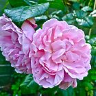 Strawberry Hill pink roses by magicaltrails