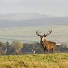 Red Deer Stag by cj1970
