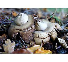 Gekraagde Aardster(Hooded Geastrum) Photographic Print