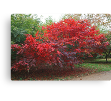 Japanese Acer at Sheffield Park Canvas Print