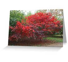 Japanese Acer at Sheffield Park Greeting Card