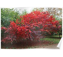 Japanese Acer at Sheffield Park Poster