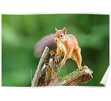 Red Squirrel Balancing Act Poster
