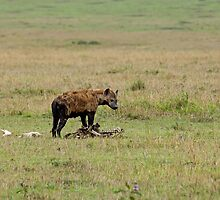 Spotted Hyena on carcase by Sue Robinson