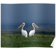 Great White Pelicans facing away from each other Poster