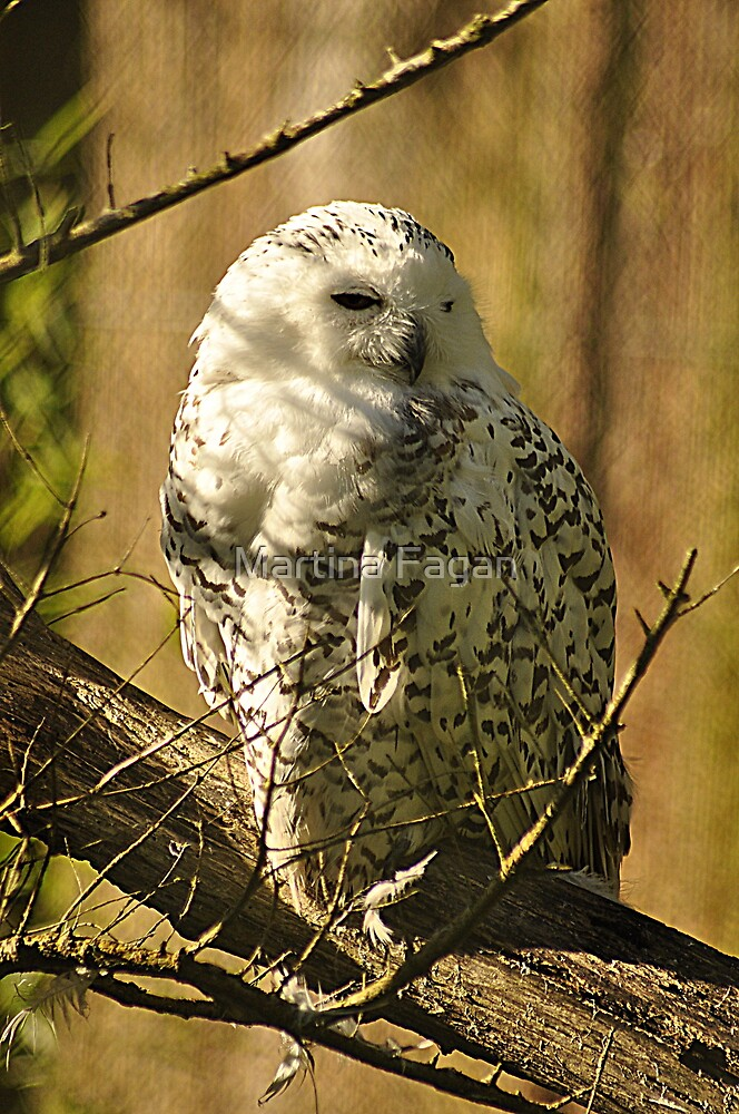 Snowy Owl by Martina Fagan