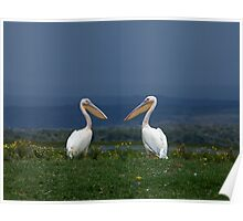 Great White Pelicans facing each other Poster