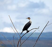 Great Cormorant by Sue Robinson