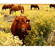 MOO-VING ALONG Photographic Print
