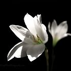 Another White Rain Lily by gregAllore