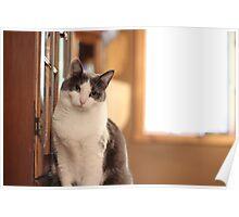 sitting white cat Poster