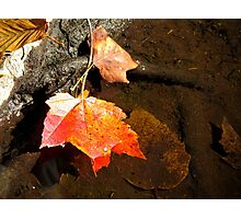 Autumn Maple Photographic Print