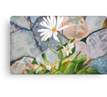 Daisies in the Stones Canvas Print