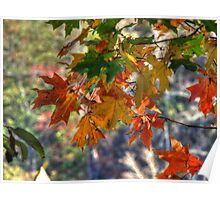 Fall Oak Leaves Brighten Poster