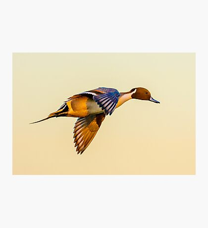 Pintail sunset Photographic Print