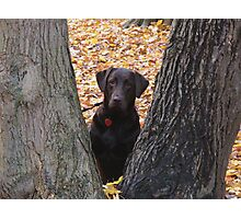 The Mocha in Chocolate Lab Photographic Print