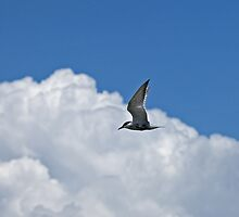 Whiskered Tern in Kenya by Sue Robinson