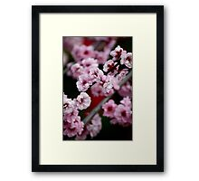 Flowering Cherry Framed Print