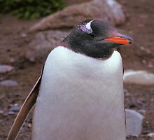 Gentoo Penguin Portrait by Carole-Anne