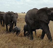 The Roaming Elephants by WeeklyDesigns