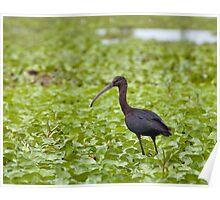 Glossy Ibis juvenile Poster