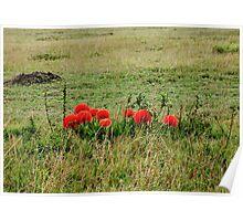 Fireball Lilies on the Masai Mara Poster