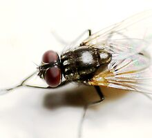 Fly on white by Graeme M