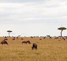 Acacia tree with radio arial on the Masai Mara by Sue Robinson