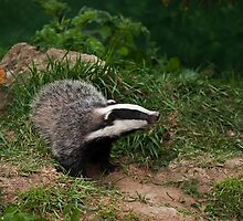 Badger Cub watching by Sue Robinson