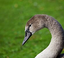 Young Mute Swan Cygnet head shot by Sue Robinson