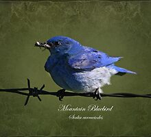 Mountain Bluebird by Vickie Emms