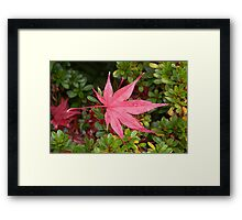 Japanese Maple Leaf Framed Print