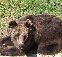 Bear in Yaroslavl zoo by pisarevg