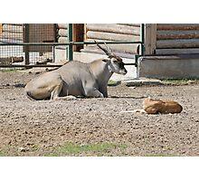 Antelope Photographic Print