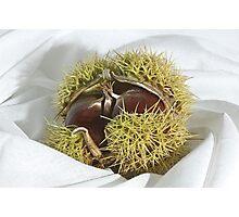 Chestnut Photographic Print